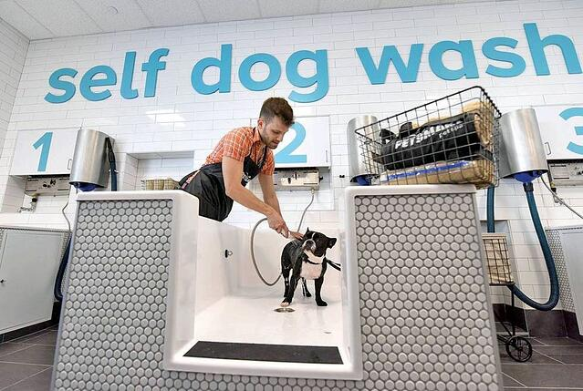 A Boston Terrier getting washed inside a PetSmart store.