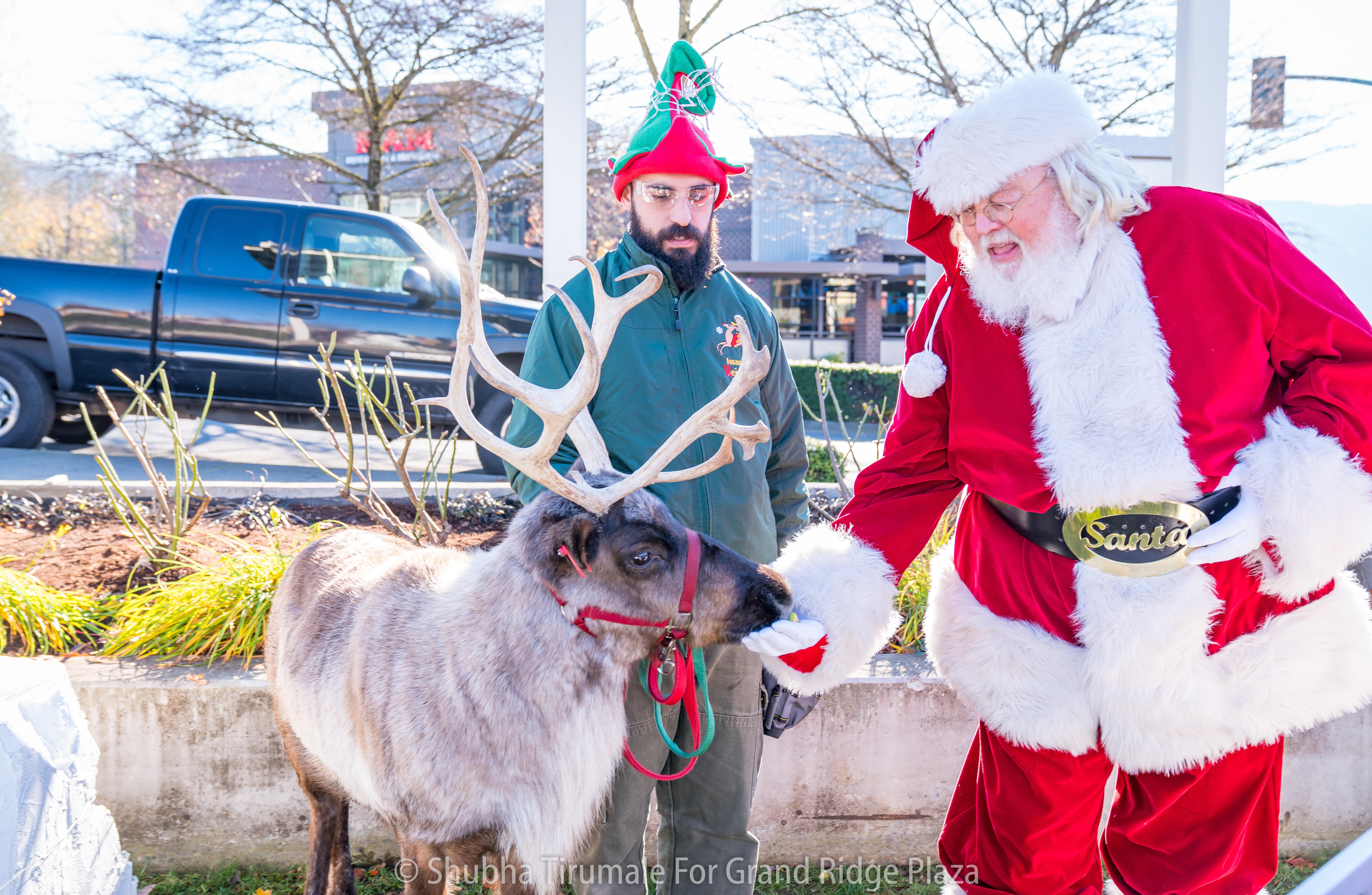 Santa feeding a reindeer while an elf looks on