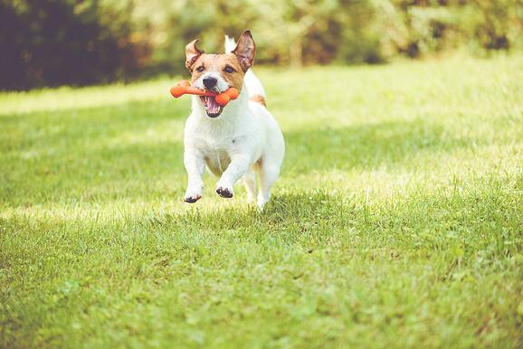 Jack Russel running on grass with an orange bone in its mouth.